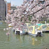Токио Парк Уэно цветение сакуры :: Swetlana V