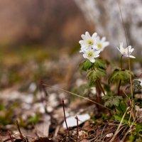 Первые весенние цветы :: Владислав Левашов