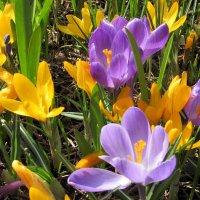 Апрельские крокусы. :: Валюша Черкасова