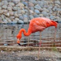 Красный фламинго :: Olcen Len