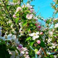 яблони в цвету,какое чудо! :: Люша