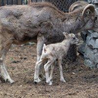Новорожденный малыш Аргали :: Владимир Шадрин
