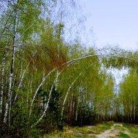 дорога в березовом лесу :: Александр Прокудин