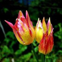 Тюльпаны :: Елена (ANEL-VP) .