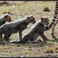 Кения. Национальный парк Масаи Мара. Гепарды. В природе чёткая иреархия. :: Таймас