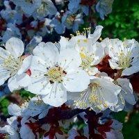 Цветет весна. :: Чария Зоя