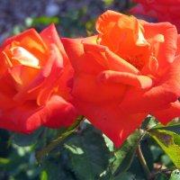 Розы и солнце. :: Валерьян Запорожченко