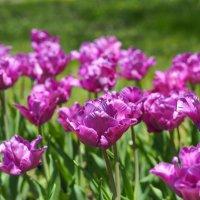 "Тюльпаны ""Blue Parrot"" :: Swetlana V"