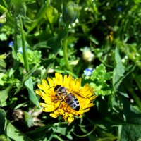 Пчела на одуванчике :: Татьяна Королёва