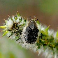 мохнатый жук на мохнатом котике :: Александр Прокудин