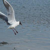 Посадка чайки. :: Виктор Евстратов