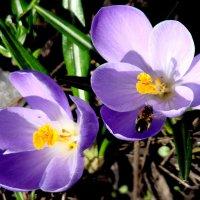 Первые цветы :: Людмила (Руца)
