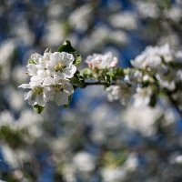 Цветущая ветка яблони :: Александр Синдерёв