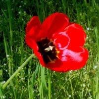 Аленький цветок :: Нина Бутко