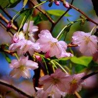 Чудо весеннего цветения :: Наталья Лакомова