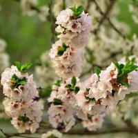 Цветение сакуры :: НАТАЛИ natali-t8