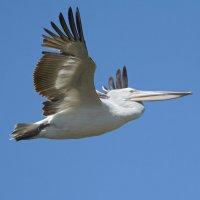 Кудрявый пеликан. :: Светлана Ивановна Медведева