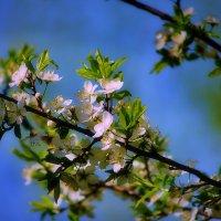 Майское чудо цветения :: Наталья Лакомова