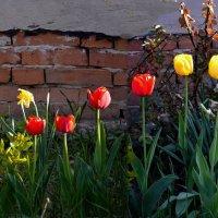 Утренние тюльпаны. :: Михаил Болдырев