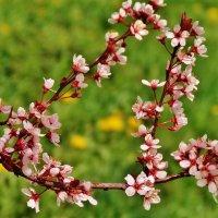 Весеннее цветение :: Aida10