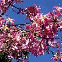 Великолепное цветение :: Vanda Kremer