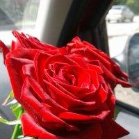 просто роза :: Вячеслав Карпов