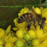 Пчела :: Vit