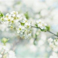 Цветущая вишня :: Алексей Румянцев