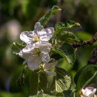весенние цветы IMG_5176 :: Олег Петрушин