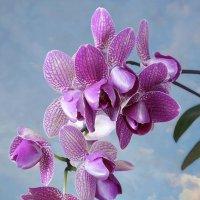 Орхидея пелорик Little Dog :: Ирина Приходько