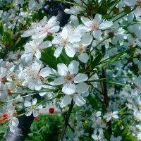 Цветут сады. :: Чария Зоя