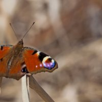 Бабочка павлиный глаз :: Анатолий Иргл