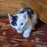 Белый котенок :: Юлия Батурина