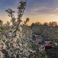 В яблоневом саду... :: Сергей