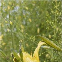 Лилейник лимонно-жёлтый :: Денис Косенюк