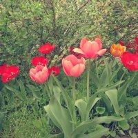 Тюльпаны :: Виктория Власова
