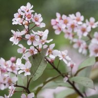 Черемуха цветет :: marmorozov Морозова
