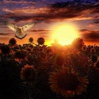 Закат на  подсолнуховым полем :: Валерий