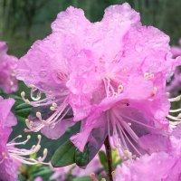 Цветок рододендрона :: SergeuBerg