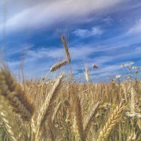 Wheat and clean air in my homeland :: Анастасия Пономарева