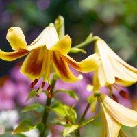 Цветок лилии :: Михаил Рехметов