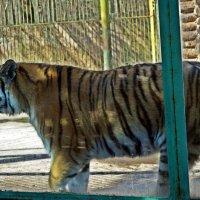 Уссурийский тигр :: Лариса
