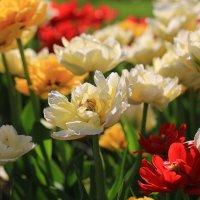 Тюльпаны :: ninell nikitina