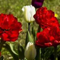 тюльпаны :: Петр Беляков