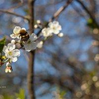 Шмель на цветке вишни :: Александр Синдерёв
