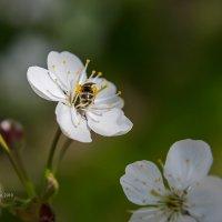 Оса в цветке вишни :: Александр Синдерёв