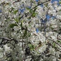 Был месяц май, и вишня цвела ...... :: Маргарита ( Марта ) Дрожжина