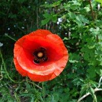 """""""Не знаю краше ангельских цветов, Которые зовутся красным маком …"""" :: Galina Dzubina"""
