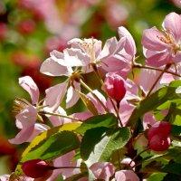 Цветение дикой яблони. :: ТаБу