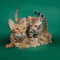 Кошка-мама и котенок бенгальской породы :: Ольга Кириллова